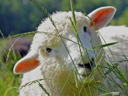 Снимка за категория Агрегати за доене на овце